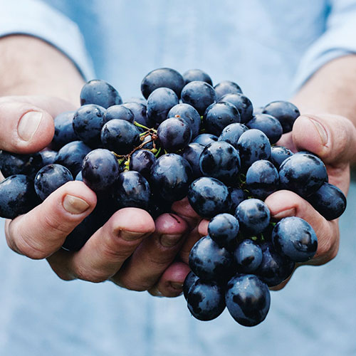 Holding Grapes That Will Soon Become Wine